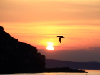 Razorbill flying by Isle of Muck. Sunset in background