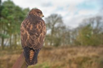 Birds Of Prey Ulster Wildlife