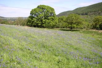 Glenarm bluebell field
