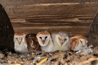Five barn owl chicks at nest site in Crumlin (c) Ciarán Walsh