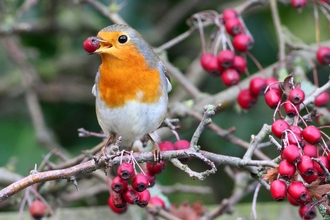 Robin (c) Margaret Holland