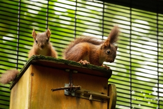 Red Squirrels born in 2017 at Belfast Zoo (c) J Lees