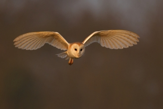 Barn Owl (c) Andy Rouse2020 Vision