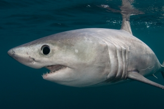 RESTRICTED - Porbeagle shark