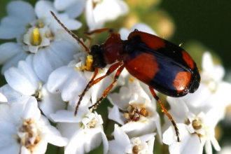 Lebia cruxminor - brown and black spotted beetle on a white flower