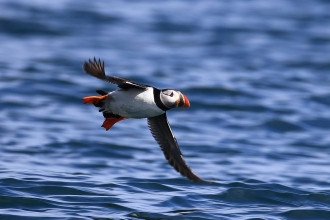 Puffin above water