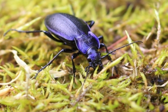 Violet ground beetle - Ronald Surgenor, Slievenacloy July 2020