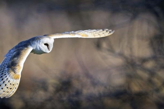 Barn owl (c) David Tipling