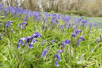 Bluebell, Straidkilly