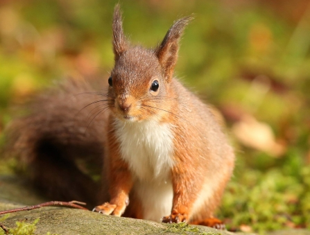 Red squirrel (c) Desmond Loughery