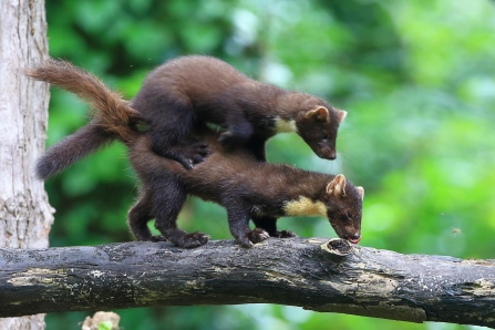 Two pine martens playing on a thick branch