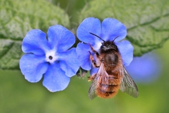Red Mason Bee (c) Penny Frith