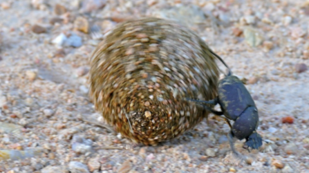 Large copper dung beetle rolling a ball of dung