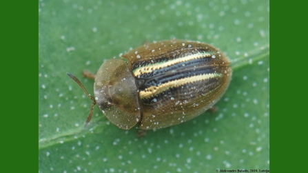 Brown beetle with yellow stripes on back